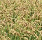 أمونيوم [سولفت] (20.5% نيتروجين) لأنّ بول أسمدة زراعيّة