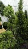 Künstliche Pflanzen und Blumen des Boxwood-Baums Gu1470139687520