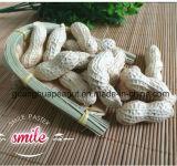 Nuevo cultivo de cacahuete en Shell