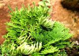 Amentoflavone 1-98%, Selaginella Tamariscina