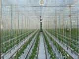 6000d cordicella grezza del pomodoro di bianco pp