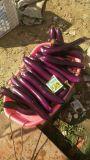 Bio fertilizante orgânico de Unigrow na plantação da beringela