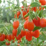 Wolfberry 과일 추출