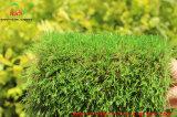 [سغس] و [س] حامل شهادة زخرفيّة يرتّب عشب اصطناعيّة