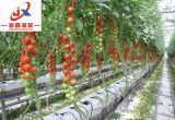 Multi-Span Venlo type et de serre pour la plantation de légumes