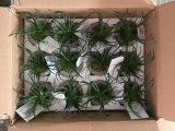 Migliori bonsai di vendita della Tabella di Gu1470626719184