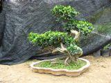 기근 Ficus (HBH-R05)