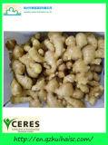 Золотой поставщик нового урожая свежего имбиря (150g и выше)