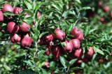 おいしいまたは全体的な市場か新しく赤いHuaniu Apple (80-88)のためによい
