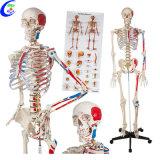 Modèle de squelette anatomiques humains médical