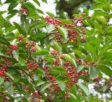 Petróleos esenciales de Wintergreen del extracto herbario antiinflamatorios y analgésicos