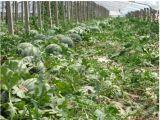 Unigrow melhoramento do solo no plantio de melancia