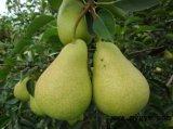 Chino de suministro de Pear/Ya fresco/pera la pera Ya