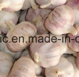 新しい穀物の中国の新しく赤く正常か純粋で白いニンニク