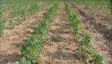De witte Quinoa Oorsprong van China