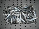 كاملة مستديرة يجمّد فواكه البحر سردين سمكة لأنّ يستطيع أو طعم ([سردينلّا] [أوريتا])