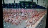 Impianto di lavorazione del pollo automatico con costruzione prefabbricata