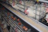 가축 농장 가득 차있는 자동적인 층 닭 감금소 장비
