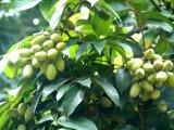 バルクOleuropein 20%~60%のオリーブ色の葉のエキス