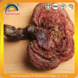 Ganoderma Lucidum Lingzhi Entero con efecto antioxidante