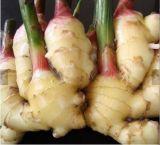 Prix concurrentiel de par gingembre frais de /Sushi de gingembre de nature neuve de collecte de tonne