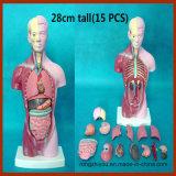 28cm de altura Human Anatomy Torso Modelo (15 PCS)