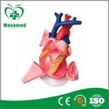 [م-ن011] [3د] قلب إنسانيّة (نموذج [أنتوميكل])