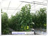 Het commerciële Plastiek wierp Serre voor Tomaat af