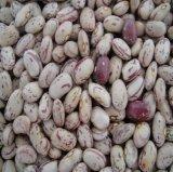 Горячая Продажа свежих культур превосходное качество света крапчатый обыкновенная фасоль