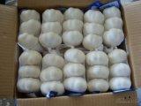Ajo blanco fresco con el buen precio para exportar