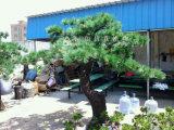 高品質の屋外の人工的な松の木