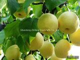 Новая груша Ya хорошего качества урожая свежая
