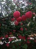 Engrais organique Unigrow microbienne sur Apple la plantation