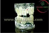 Modèle d'enseignement dentaire de toute forme de dents