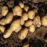 Frische Kartoffel des neuen Getreide-2017