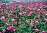 Fond herbacé de plante d'ampoule de fleur de pivoine