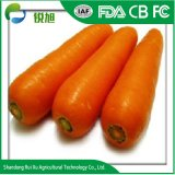 Wholesales Barata de China zanahorias frescas Precio más bajo