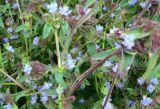 Выдержка 98% Ecdysterone травы росы для увеличивая прочности и выносливости