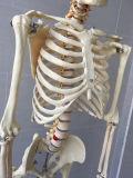 Matériel de laboratoire Enseignement médical Modèle de squelette humain (R020102)