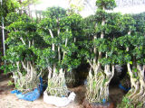 Ficus Bonsai Trees