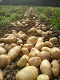 Patata trattata con il fertilizzante organico microbico di Unigrow