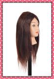 100% de cabelo humano lição Chefe 16polegadas para a formação escolar de beleza