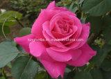Pure et naturelle de l'huile de Rose, ont augmenté de l'huile raffinée, l'Huile Essentielle de Rose
