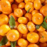 Chinês fresco de boa qualidade Baby Mandarin