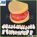 Стоматологические услуги всех зубов съемными стандартных зубьев зуб модели 28 ПК зубов обучения студентов Hesperus модели