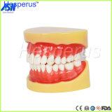 Зубоврачебно полностью студент зубов PCS модели 28 зуба зубов зубов съемный стандартный учя модель