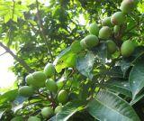 Oleuropeina verde oliva Hydroxytyrosol 10597-60-1 dell'estratto del foglio