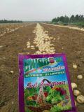 Unigrow fumier biologiques sur la plantation de pommes de terre organique