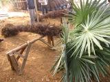 Palme resistenti fredde di Trachycarpus Fortunei