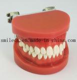Modèle d'enseignement standard avec 28 dents